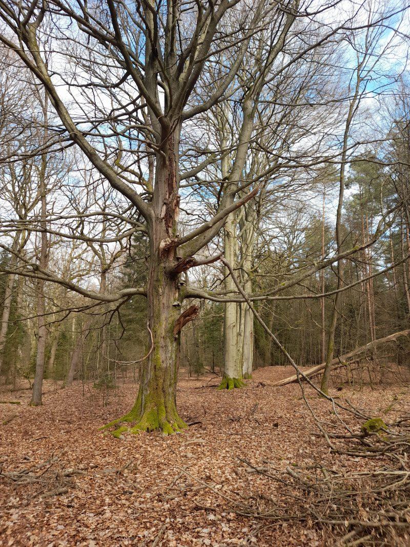 Buchen Naturwald Nds. Landesforsten